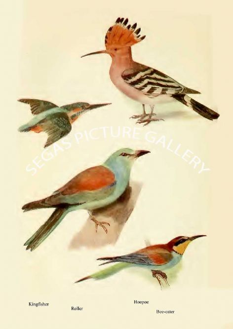 Fine art print of the Kingfisher, Roller, Hoopoe & Bee-eater by William Foster (1922)
